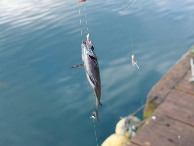 ウキサビキ釣り仕掛けでアジを釣る