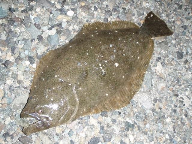 堤防釣りヒラメ