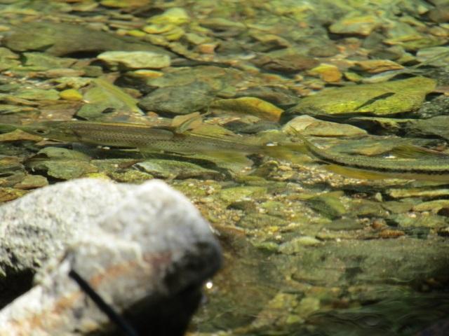 ギンペイ(ウグイの幼魚)