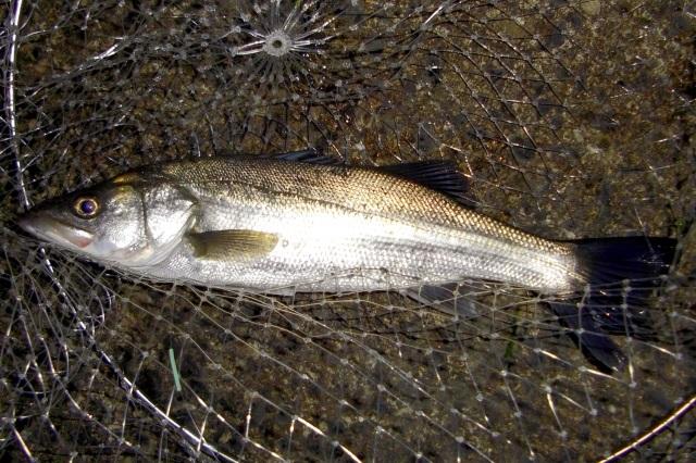 冬の釣り シーバス