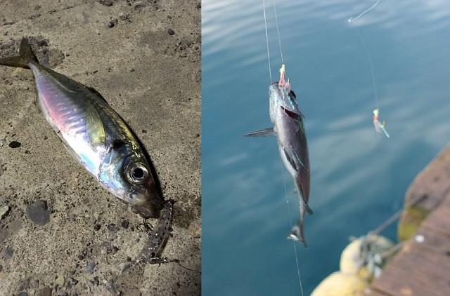 アジングとアジサビキ釣りで釣れたアジ