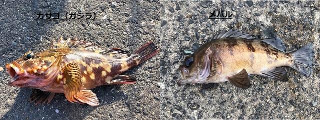 サビキ釣り カサゴ・メバル